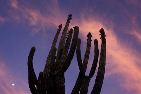 image 0-63-5 Mexico, Baja California Sur, Cactus at sunrise