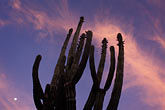 orange light stock photography | Mexico, Baja California Sur, Cactus at sunrise, image id 0-63-5