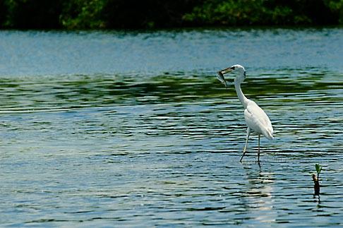 image 4-850-3046 Mexico, Yucatan, Sian Kaan Biosphere Reserve, Egret