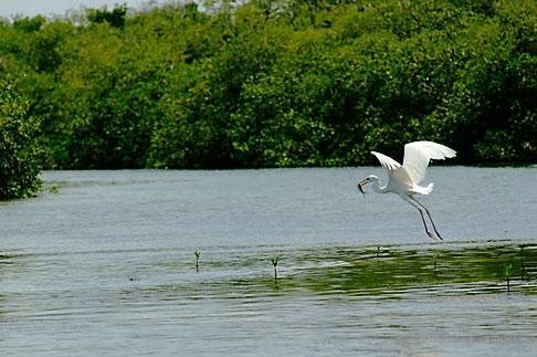 image 4-850-3050 Mexico, Yucatan, Sian Kaan Biosphere Reserve, Egret