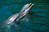 water stock photography | Mexico, Riviera Maya, Two friendly bottle-nosed dolphins, looking up, image id 4-871-34