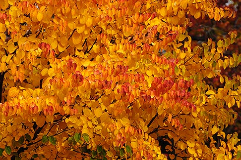 image 6-460-7452 Canada, Autumn foliage, red and yellow maple trees