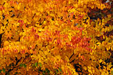 red leaves stock photography | Canada, Autumn foliage, red and yellow maple trees, image id 6-460-7452