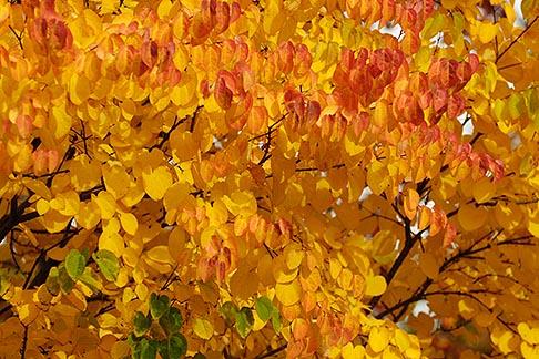 image 6-460-7454 Canada, Montreal, Fall foliage