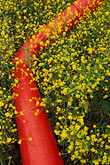 mustard flowers and red pipeline stock photography | California, Solano County, Mustard flowers and water pipe, image id 4-218-29