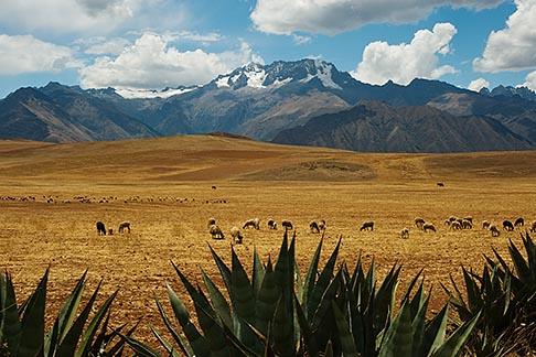 image 8-760-1804 Peru, Pisac, High Altiplano above Urumamba Valley, Sheep grazing, Nevada Chicon in distance