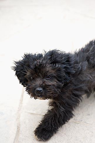 image 8-761-1381 Peru, Ollantaytambo, Black dog, frontal view