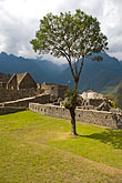 sacred plaza and solitary tree with ruins of stone stock photography | Peru, Machu Picchu, Sacred Plaza and solitary tree with ruins of stone houses, image id 8-761-1713