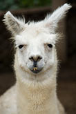 peruvian stock photography | Peru, Lima, Alpaca, frontal view, image id 8-761-480