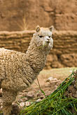 vertical stock photography | Peru, Cuzco, Llama, tethered, feeding, image id 8-761-735