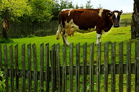 image 4-960-1252 Poland, Jelenia Gora, Cow in field with fence