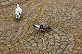 plaza stock photography | Poland, Jelenia Gora, Birds and cobbles, image id 4-960-1355