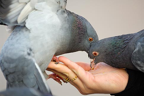 image 7-730-8589 Poland, Krakow, Pigeons feeding from womans hand