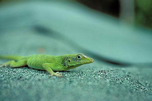 image 1-354-24 Puerto Rico, Anole lizard