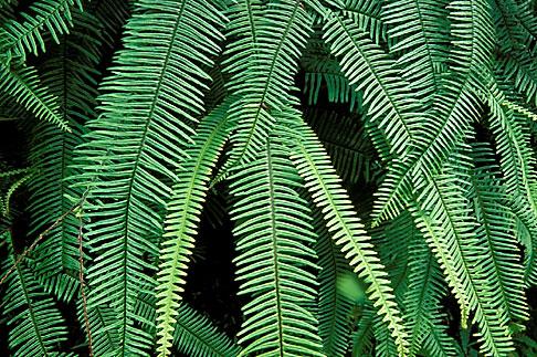 image 1-354-53 Tropical plants, Green fern