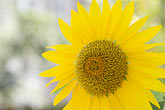 single color stock photography | Canada, Quebec City, Sunflower, image id 5-750-311