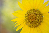 circle stock photography | Canada, Quebec City, Sunflower, image id 5-750-313