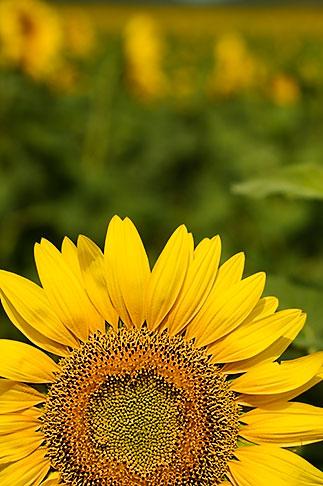 image S5-128-9576 Flowers, Sunflower