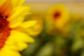 detail stock photography | Flowers, Sunflower, image id S5-128-9586
