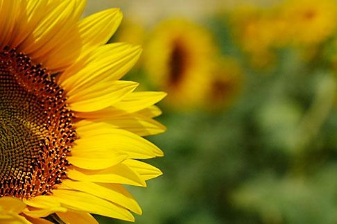image S5-128-9594 Flowers, Sunflower