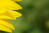 detail stock photography | Flowers, Sunflower, image id S5-128-99