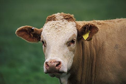 image 1-537-35 Scotland, Aberdeenshire, Cow in field