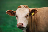 look at camera stock photography | Scotland, Aberdeenshire, Cow in field, image id 1-537-35