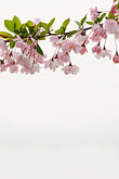 garden stock photography | China, Cherry blossoms, image id 7-620-4400