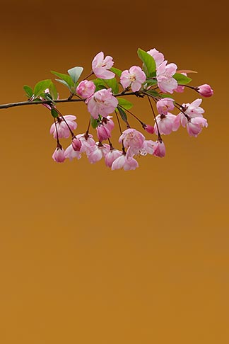 image 7-620-4898 China, Cherry blossoms