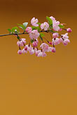 colour stock photography | China, Cherry blossoms, image id 7-620-4898
