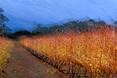 rustic stock photography | South Africa, Helderberg, Vineyards at dusk, Vergelegen Wine Estate, image id 1-418-20