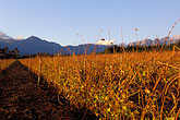rustic stock photography | South Africa, Helderberg, Vineyards at dusk, Vergelegen Wine Estate, image id 1-418-8