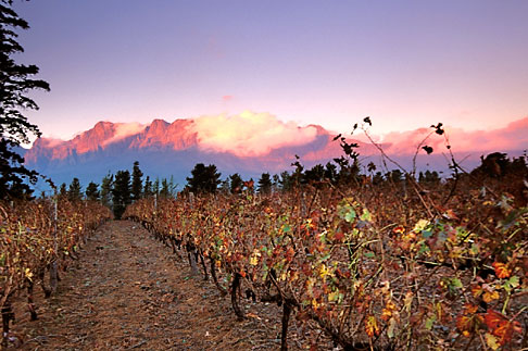image 1-419-56 South Africa, Helderberg, Vineyards and mountains, Vergelegen Wine Estate