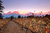 dawn stock photography | South Africa, Helderberg, Vineyards and mountains, Vergelegen Wine Estate, image id 1-419-56