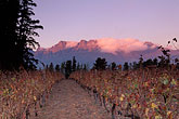 dawn stock photography | South Africa, Helderberg, Vineyards and mountains, Vergelegen Wine Estate, image id 1-419-58