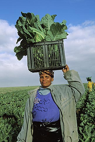 image 1-420-78 South Africa, Stellenbosch, Farm worker