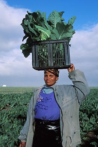 image 1-420-80 South Africa, Stellenbosch, Farm worker