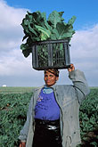 vegetable stock photography | South Africa, Stellenbosch, Farm worker, image id 1-420-80