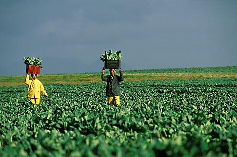 image 1-420-86 South Africa, Stellenbosch, Farm workers