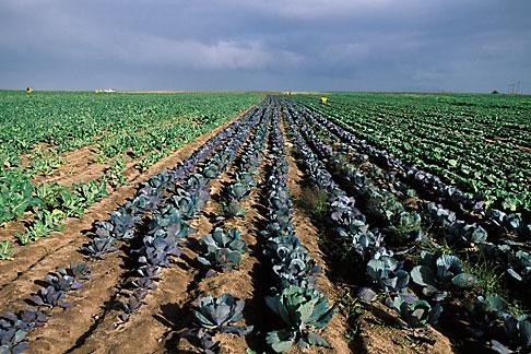 image 1-420-98 South Africa, Stellenbosch, Cabbage field