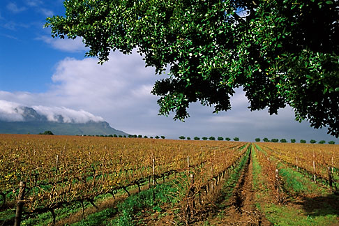 image 1-421-7 South Africa, Stellenbosch, Vineyards
