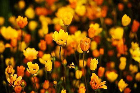 image 5-113-26 California, Benicia, African poppies