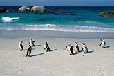 shore stock photography | South Africa, Cape Peninsula, Jackass Penguins, Simonstown, image id 5-451-17