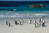 horizontal stock photography | South Africa, Cape Peninsula, Jackass Penguins, Simonstown, image id 5-451-20