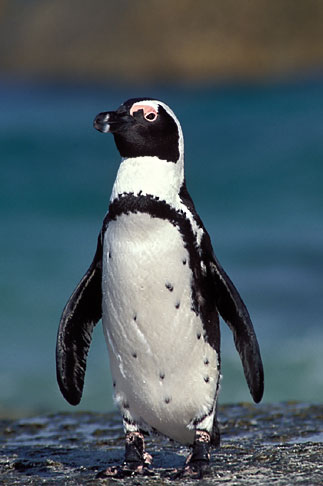 image 5-454-14 South Africa, Jackass Penguin