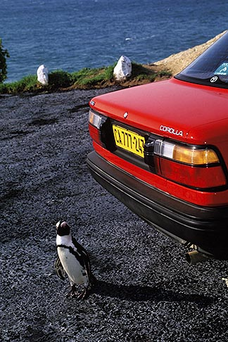 image 5-457-5 South Africa, Cape Peninsula, Jackass Penguin and car, Simonstown
