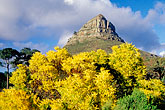 lions head and flowers stock photography | South Africa, Cape Town, Lion