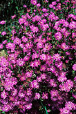 multicolor stock photography | South Africa, Cape Peninsula, Roadside flowers, image id 5-498-26