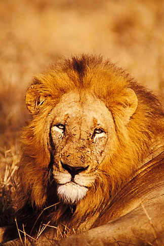 image 7-415-21 Southern Africa, Animals, Lion