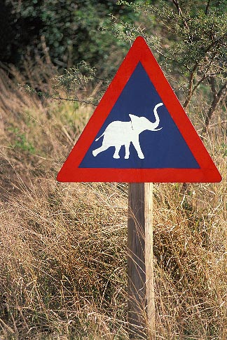 image 7-434-10 South Africa, Cape Province, Elephant crossing!